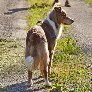 australian-shepherd-237014_640